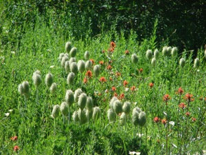 Paintbrush & Western Pasque Flowers (Hippies on a Stick)