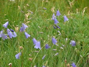 Scotch bluebells
